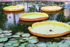 Vannage de Lotus Photos libres de droits