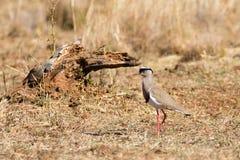 Vanneau couronné d'Afrique du Sud, parc national de Pilanesberg image stock