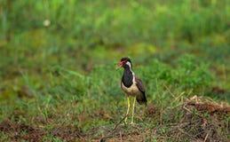 Vanneau d'appel d'oiseau Photo stock