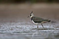 Vanneau du nord, vanellus de Vanellus Photo stock