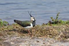 Vanneau du nord (vanellus de Vanellus) Photo stock