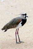 Vanneau du sud, chilensis de Vanellus Photos stock