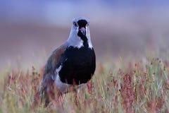 Vanneau du sud de patagonia Images libres de droits