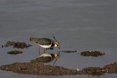 Vanneau et x28 ; Vanellus& x29 de Vanellus ; réflexion dans l'eau Photo stock