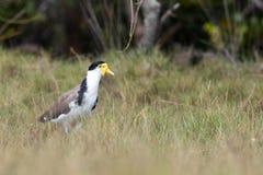 Vanneau ou pluvier masqué (milles de Vanellus) dans le marais de sel Photos libres de droits