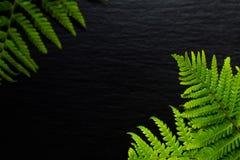Vanno le felci verdi del fondo vanno sul fondo nero della pietra dell'ardesia Immagine Stock Libera da Diritti