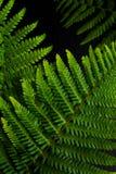 Vanno le felci verdi del fondo vanno sul fondo nero della pietra dell'ardesia Fotografia Stock Libera da Diritti