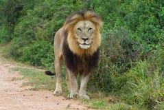 Vanti il leone maschio immagini stock libere da diritti