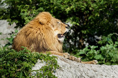 Vanti il profilo del leone maschio che riposa sulla scogliera di pietra al fondo dei cespugli di verde Fotografie Stock