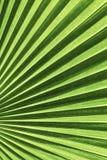 Vanuatu fan palm leaf Stock Photos