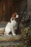 Vapenhund nära till hagelgeväret och troféer Arkivbilder