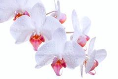 Vapor blanco de las orquídeas Fotografía de archivo