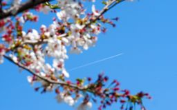 Vapour trail with Japanese cherry Stock Photo