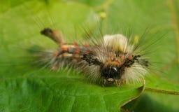Vapourer ćma gąsienica Zdjęcie Stock