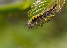 Vapourer Moth Caterpillar Stock Photography