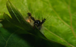 A Vapourer moth caterpillar feeding Royalty Free Stock Images