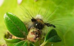 A Vapourer moth caterpillar feeding Stock Photography