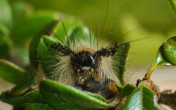 Vapourer Moth caterpillar Stock Images