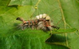 A Vapourer moth caterpillar Royalty Free Stock Images