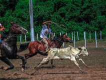Vaqueiro do Amazonas Foto de Stock Royalty Free