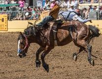 Vaqueiro do rodeio no mau bocado de A Imagens de Stock