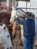 Vaqueiro Haltering Horse imagens de stock royalty free