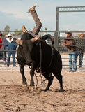Vaqueiro Rodeo Bull Riding Fotos de Stock