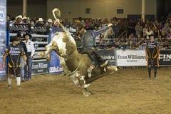 Vaqueiros do cavaleiro do touro do rodeio Fotos de Stock Royalty Free