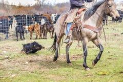 Vaqueiros que travam vitelas recentemente carregadas imagem de stock