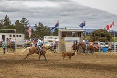 Vaquero en un caballo que coge un becerro en la competencia de la demostración del rodeo Fotos de archivo libres de regalías