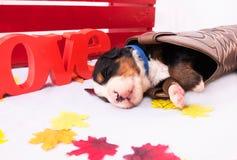 Vaquero Puppy Imagenes de archivo
