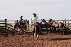 Vaqueros que manejan los animales del campo en un corral Imagen de archivo libre de regalías