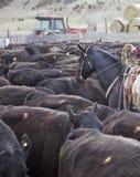 Vaqueros y caballos que mueven vacas Foto de archivo