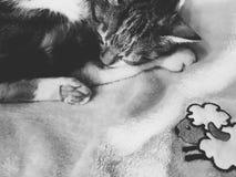 Vaquinha cat Fotografia de Stock