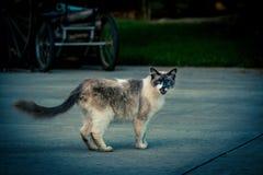 Vaquinha cat Imagens de Stock Royalty Free