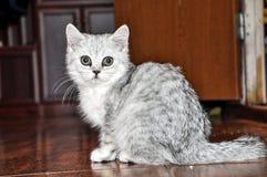 Vaquinha escocesa cinzenta macia, portrairt foto de stock royalty free