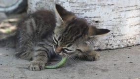Vaquinha pequena que come um lagarto verde vídeos de arquivo