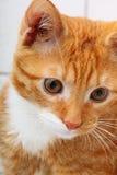 Vaquinha vermelha do animal de estimação do gato do bebê dos animais em casa no banheiro Fotografia de Stock