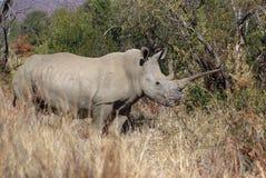 Varón adulto del rinoceronte blanco africano con el claxon enorme Fotografía de archivo libre de regalías