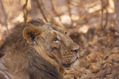 Varón asiático del león herido en lucha teritorial Imagenes de archivo