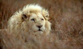 Varón blanco del león Fotografía de archivo