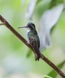 varón Blanco-throated del colibrí de la Montaña-gema Imagenes de archivo