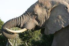 Varón Bull del elefante Imagen de archivo