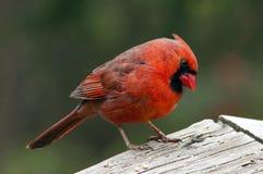 Varón cardinal norteño Imagenes de archivo