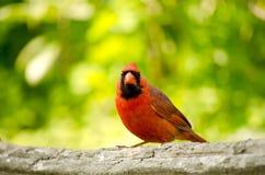 Varón cardinal septentrional imagenes de archivo