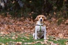 Varón casero del beagle para un paseo fotos de archivo libres de regalías