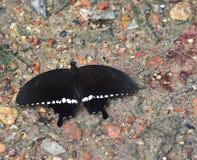 Varón común de la mariposa del marmon fotografía de archivo libre de regalías
