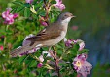 Varón común del whitethroat encaramado en un arbusto floreciente con muchas flores fotografía de archivo libre de regalías