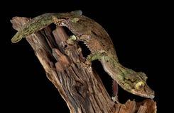Varón cubierto de musgo del gecko en la ramificación Imágenes de archivo libres de regalías