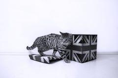 Varón de británicos Shorthair Imagen de archivo libre de regalías